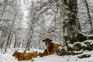 Cows by Tilyo Rusev