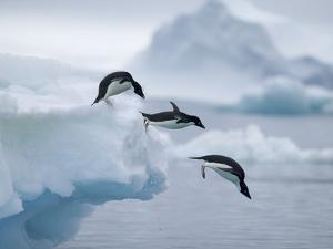 Adelie Penguins Jumping into Ocean by Tim Davis