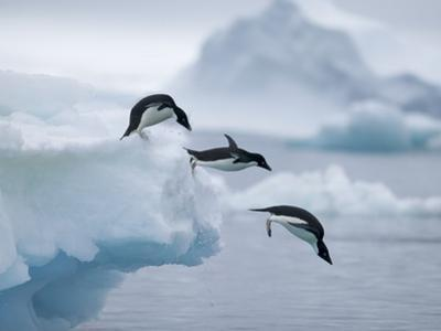 Adelie Penguins Jumping into Ocean by Tim Davis