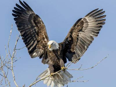 Bald Eagle wings in Wisconsin by Tim Denny
