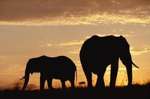 African Elephant mother and calf silhouetted at sunset, Kenya by Tim Fitzharris