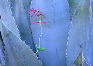 Agave and Parry's Penstemon close up, North America by Tim Fitzharris
