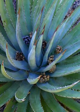 Agave plants with pine cones, North America by Tim Fitzharris