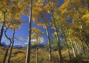 Aspen in fall colors and Maroon Bells, Elk Mountains, Snowmass Wilderness, Colorado by Tim Fitzharris