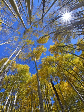 Aspens and sun burst at Kebler Pass, Colorado by Tim Fitzharris