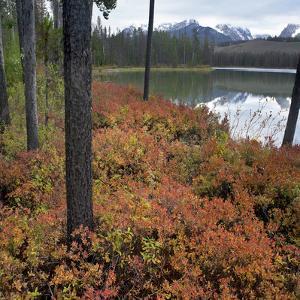 Autumn Blueberries at Little Redfish Lake, Sawtooth National Recreation Area, Idaho by Tim Fitzharris