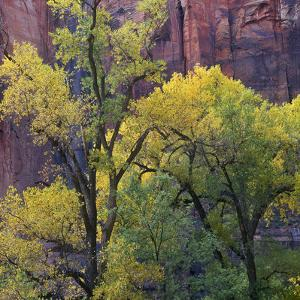 Autumn Cottonwoods, Zion National Park, Summer, Utah by Tim Fitzharris
