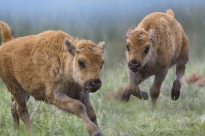 Baby Bison Running, Wyoming, Usa by Tim Fitzharris
