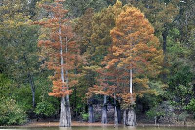 Bald Cypress along the White River, White River National Wildlife Refuge, Arkansas. by Tim Fitzharris