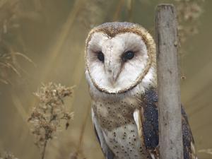 Barn Owl, British Columbia, Canada by Tim Fitzharris