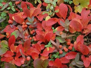 Bearberry on forest floor in autumn, Yukon Territory, Canada by Tim Fitzharris