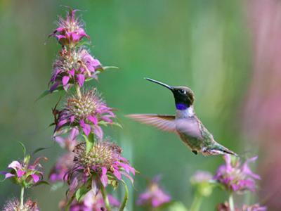 Black-chinned Hummingbird at bee balm, Texas, USA. ? by Tim Fitzharris