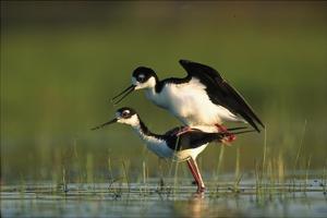 Black-necked Stilt couple mating, North America by Tim Fitzharris