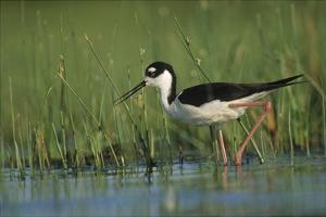 Black-necked Stilt wading through reeds, North America by Tim Fitzharris