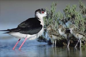 Black-winged Stilt mother with three chicks, Camargue, France by Tim Fitzharris
