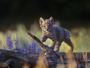 Bobcat Kitten Walking on a Fallen Log, Montana, Usa by Tim Fitzharris