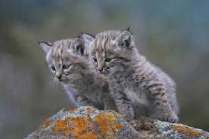 Bobcat Kittens Looking Curiously over Some Rocks, Montana, Usa by Tim Fitzharris