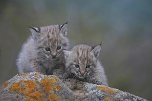Bobcat Kittens Sitting on Rocks, Montana, Usa by Tim Fitzharris