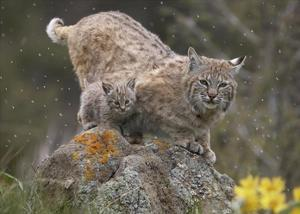 Bobcat mother and kitten in snowfall, North America by Tim Fitzharris