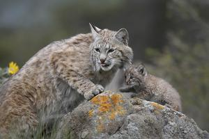 Bobcat Mother with its Kitten, Montana, Usa by Tim Fitzharris