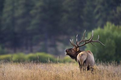 Bull elk, Cervus canadensis, bugling in meadow, Colorado USA. by Tim Fitzharris
