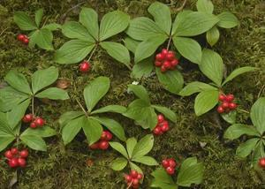 Bunchberry growing amid Sphagnum Moss, North America by Tim Fitzharris