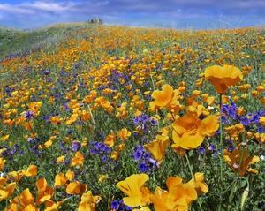 California Poppy and Desert Bluebell flowers, Antelope Valley, California by Tim Fitzharris