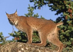 Canada Lynx climbing on rock, North America by Tim Fitzharris