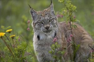 Canada Lynx portrait, North America by Tim Fitzharris