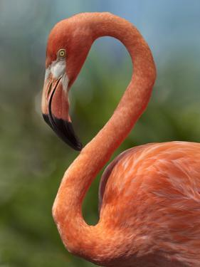 Caribbean Flamingo, showing off its flexible neck, Singapore by Tim Fitzharris