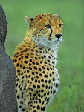Cheetah, Kenya, Africa by Tim Fitzharris
