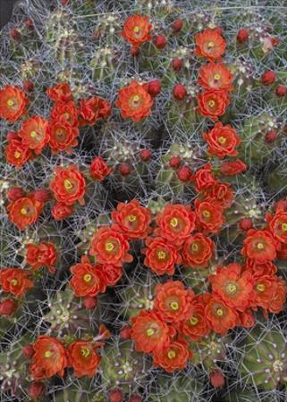 Claret Cup Cactus detail of flowers in bloom, North America by Tim Fitzharris