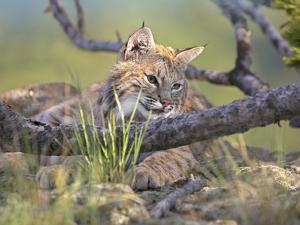 Close-Up of a Bobcat Resting, Montana, Usa by Tim Fitzharris