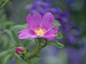 Close-Up of a Dwarf Wild Rose by Tim Fitzharris