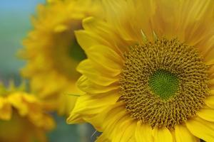 Close-Up of a Group of Sunflowers, California by Tim Fitzharris