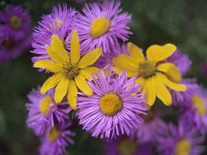 Close-Up of Asters and Little Sunflowers, Texas, Usa by Tim Fitzharris
