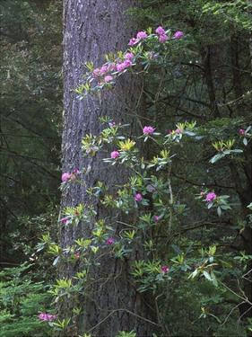 Coast Redwood trunk and Pacific Rhododendron, Redwood NP, California by Tim Fitzharris