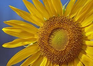 Common Sunflower flower, North America by Tim Fitzharris