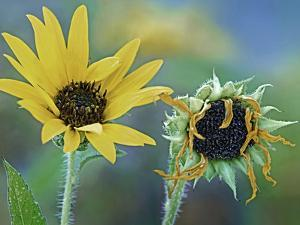 Comparison of a Young and Old Prairie Sunflowers, Summer by Tim Fitzharris