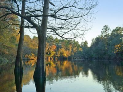 Cypress trees at Suwanee River State Park, Florida by Tim Fitzharris