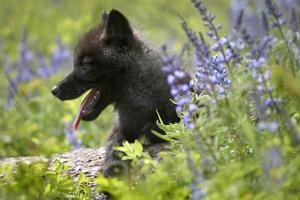 Dark Gray Wolf Pup in Wildflowers, Montana by Tim Fitzharris
