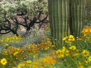 Desert in Bloom, Organ Pipe Cactus National Monument, Arizona, Usa by Tim Fitzharris