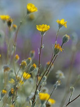Desert Sunflowers, Usa by Tim Fitzharris