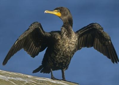 Double-crested Cormorant drying its wings, North America