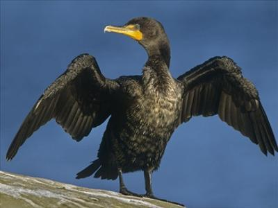 Double-crested Cormorant drying its wings, North America by Tim Fitzharris