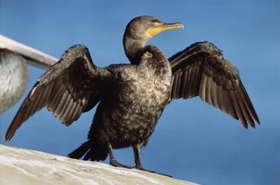 Double-crested Cormorant drying wings, California by Tim Fitzharris