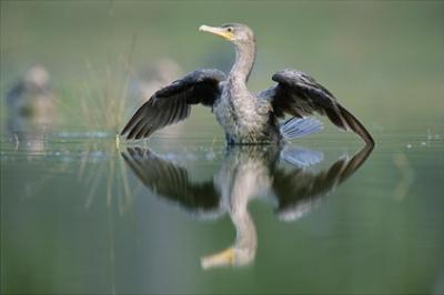 Double-crested Cormorant stretching its wings, North America by Tim Fitzharris