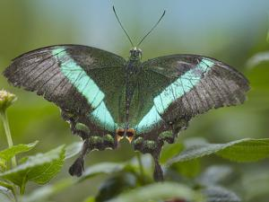 Emerald Swallowtail Butterfly, Philippines by Tim Fitzharris