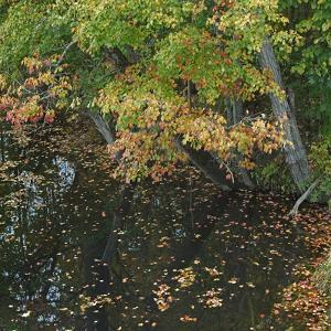 Fallen Leaves on Little Androscoggin River, New Hampshire, Usa by Tim Fitzharris