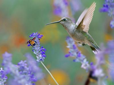 Female Black-chinned Hummingbird with bumble bee, Texas, USA. by Tim Fitzharris
